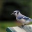 Blue Jay looking for a hand out!