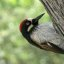 Acorn Woodpecker - Male