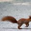 Squirrel crossing ...