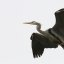 great-blue-heron-morro-bay-rookery_13
