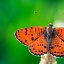 Spotted Fritillary - open wings