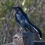 2 of 2 Great-tailed Grackle (Quiscalus mexicanus), Male