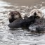 4 of 4 Sea Otter (Enhydra lutris) (marine mammal) Mother with Pup