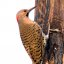Male Northern Flicker Woodpecker (Colaptes auratus)