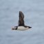 Puffin caught in flight