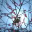 Framed in red plum blossoms