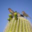 House Finch Party on Saguaro Cactus