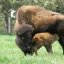 Buffalo and Newborn