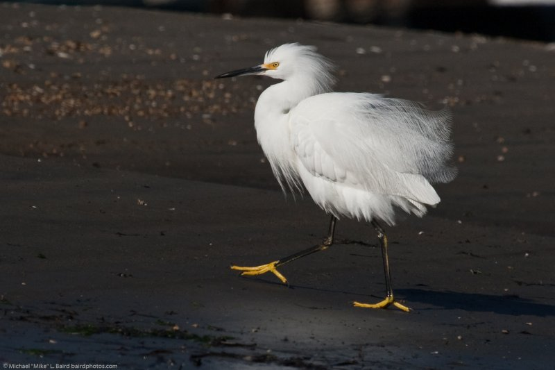 2 of 2 Snowy Egret (Egretta thula) in the CA State Park Marina, Morro Bay, CA 25 Dec 2009.