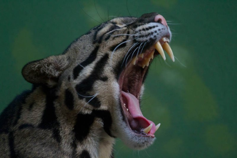 Clouded Leopard Yawn