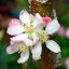 Apple Blossoms in Autumn?