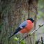 greedy bullfinch