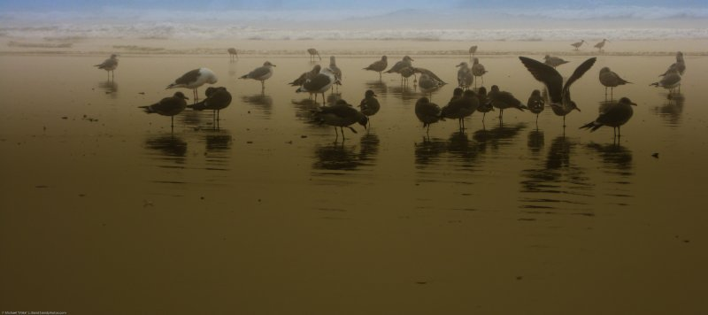 1 of 2 Flock of Gulls in low tide reflections at sunset