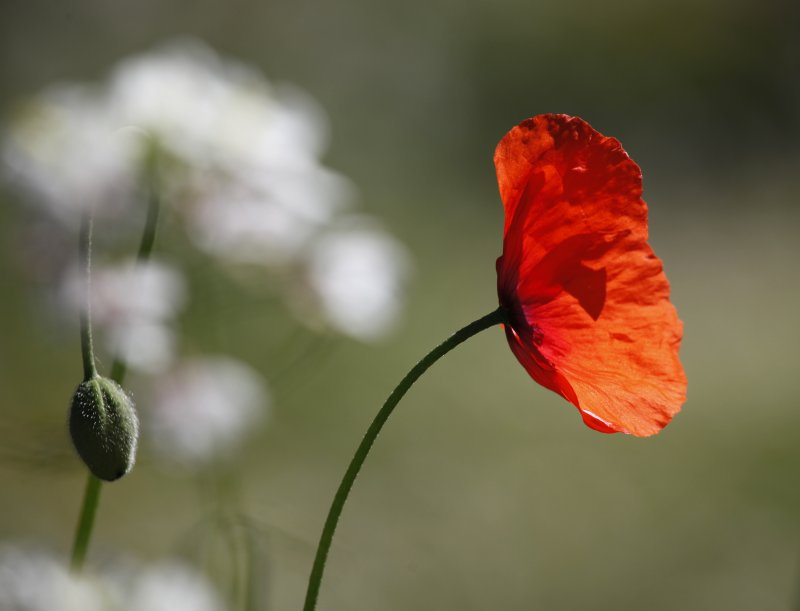 through the dancing poppies stole a breeze
