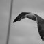 Flying  Grayscale