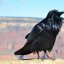 Grand Canyon Raven at Hopi Point 0081