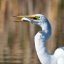 Great Egret with Fish.
