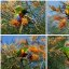 rainbow lorikeet collage