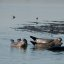 Harbor Seals hauled out on mudflats in estuary of Morro Bay, CA, 17 Jan. 2009
