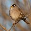 Bai002JanWCSparow.jpg  White-crowned Sparrow (Zonotrichia leucophrys) at the Cloisters City Park pond