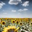 Mar de Girasoles / Sunflower Sea