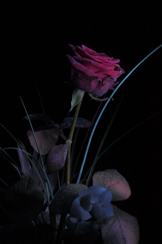 Red Rose under UV