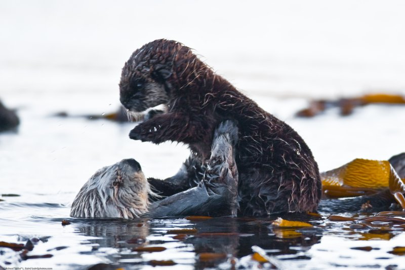 7 of 9 Sea Otter (Enhydra lutris), female, marine mammal, with her baby pup