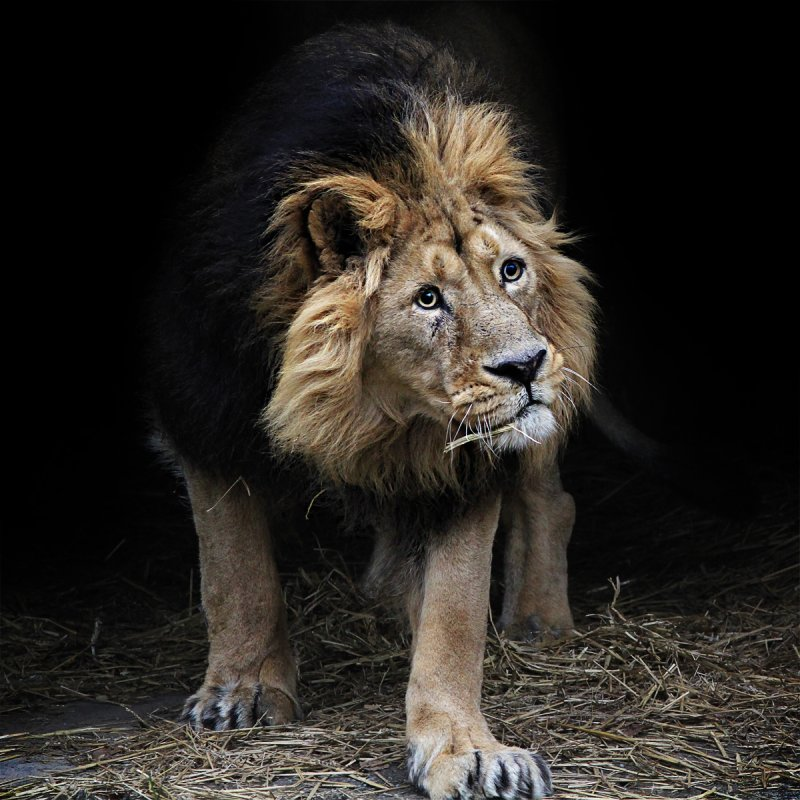 The Lion 'King'