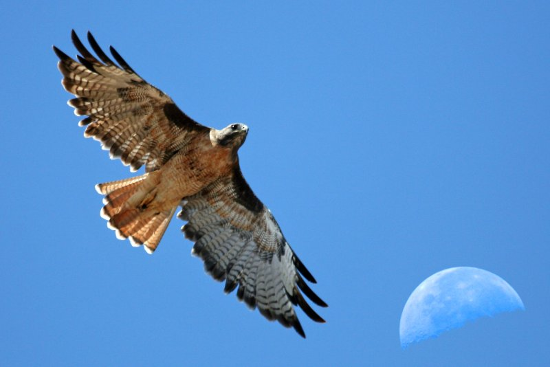 Red-tailed Hawk with moon over Estero Bay CA - composition red-tail-moon-composite-2630s