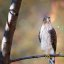 Coopers Hawk Juvy