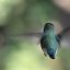 Anna's Hummingbird - Rear View