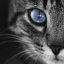 Cat_Blue_Eye