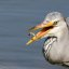 Grey Heron with a snack