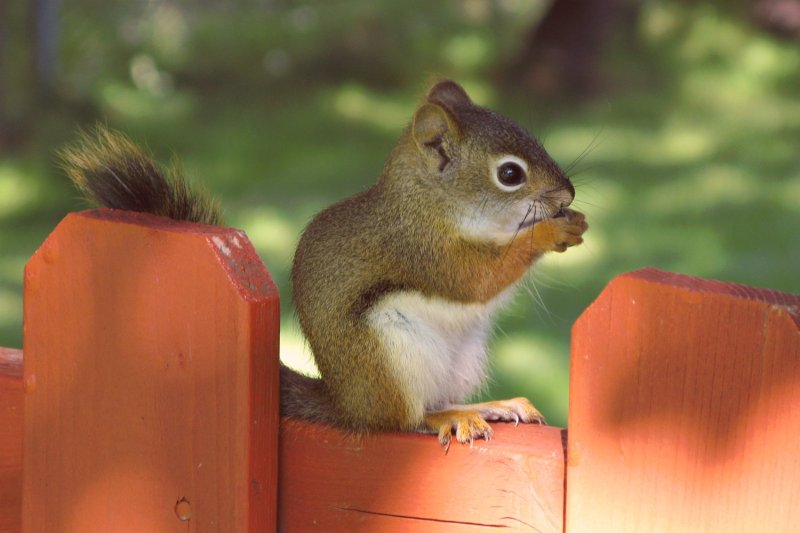 Young squirrel in the shade