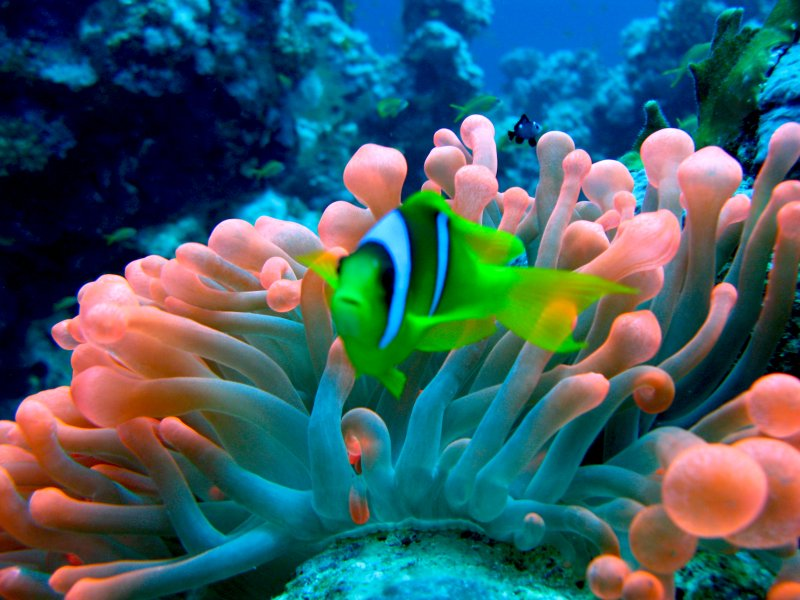 Red Sea Anemonefish in Red Bubble Anemone