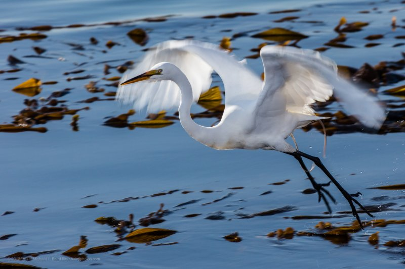 """Great Egret (Ardea alba), also known as the Great White Egret or Common Egret, White Heron.   Near Target Rock in the """"Sea Otter Kelp Rookery,"""" 27 April 2012, Morro Bay, CA."""