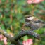 Chestnut-Backed Chickadee - Poecile rufescens-barlowi