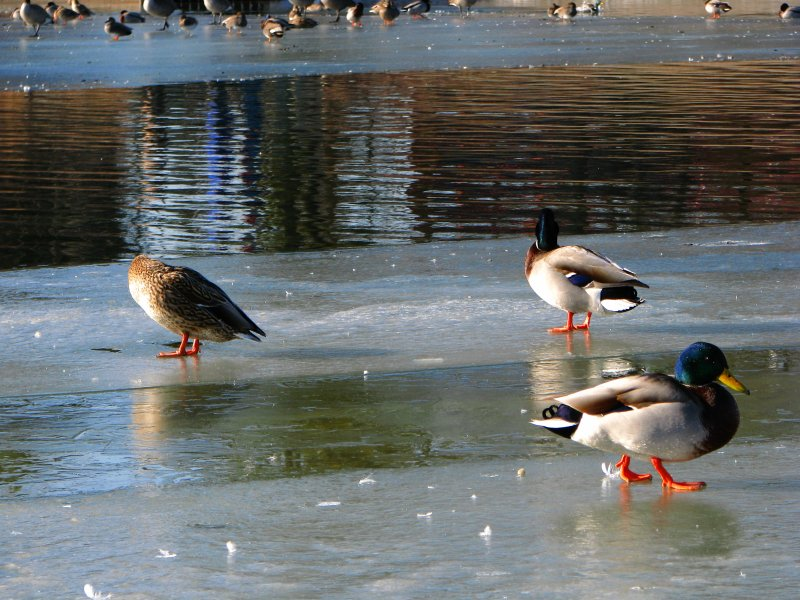 Skating Ducks