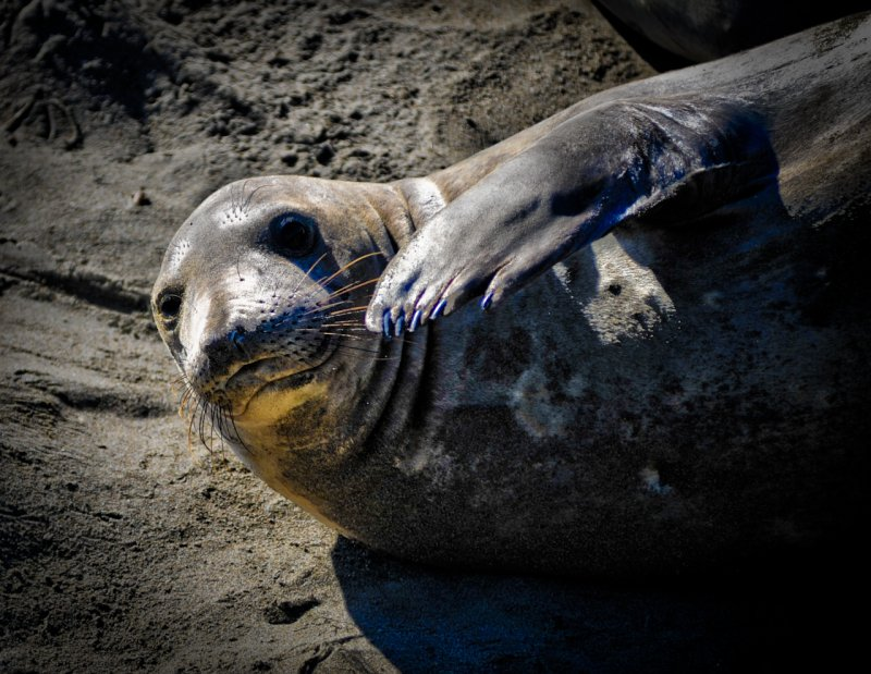 Elephant seal scratching her nose
